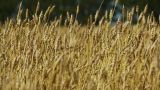 Field Of Rye 3 stock footage