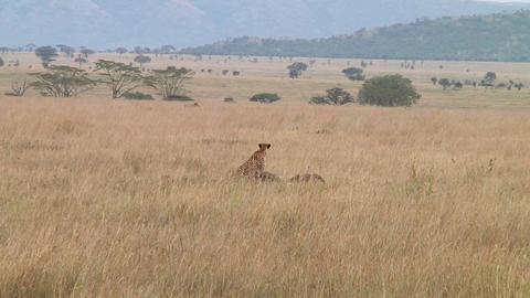 Cheetah Stock Video Footage