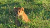 Lion cubs Footage