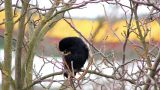 Ravens on tree 29 Footage