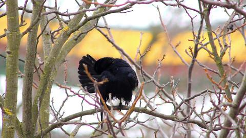 Ravens on tree 29 Stock Video Footage