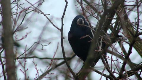 Ravens on tree 32 Stock Video Footage