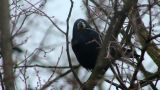 Ravens on tree 32 Footage
