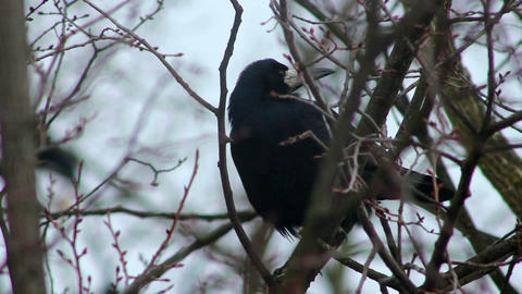 Ravens on tree 32 Stock Video Footage