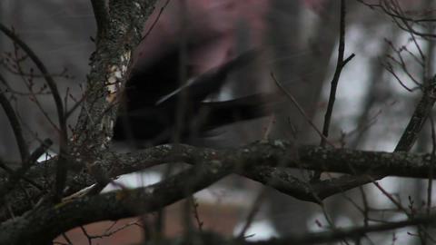 Ravens on tree 34 Stock Video Footage