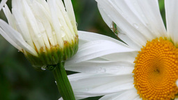 Bug between the petals of chamomile Stock Video Footage