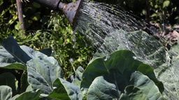 Watering cabbage Stock Video Footage