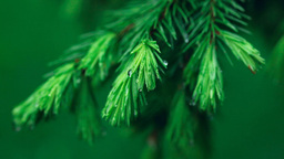 Wet spruce twig Stock Video Footage