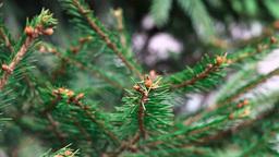 Pine Stock Video Footage
