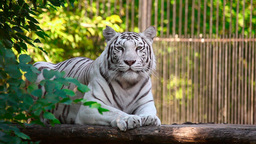 White tigress Stock Video Footage