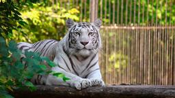 White tigress Stock Video Footage