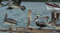 brown pelicans mexico wildlife Footage