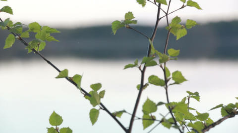 Young birch leaves, focus moving from background lake Footage