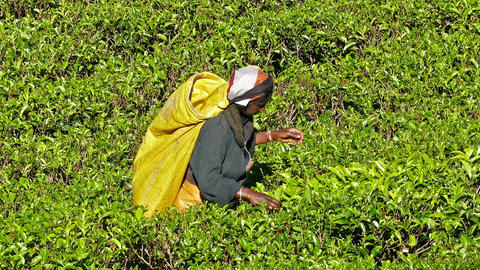 Women from Sri Lanka harvested tea leaves Footage