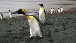 King Penguin (Aptenodytes patagonicus) on coastline
