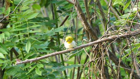 oriental white-eye bird (Zosterops Palpebrosus) Footage