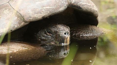 Galapagos Turtle Footage