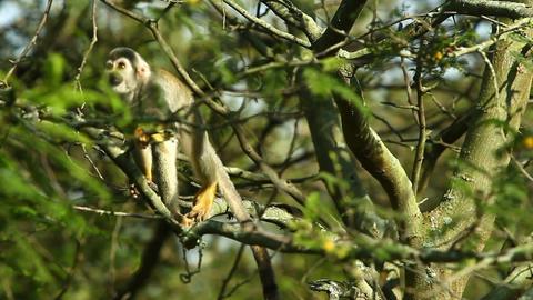 Amazon wild monkey HD Footage