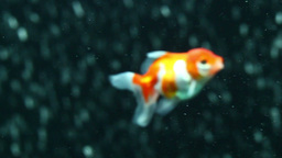 Red oranda goldfish HD Footage