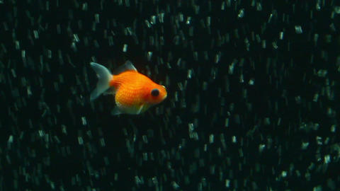 Pearl Scale Goldfish HD stock footage