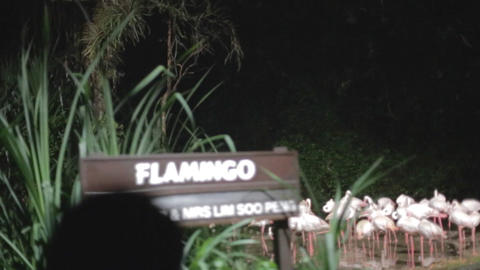 singapore night safari - flamingos Footage