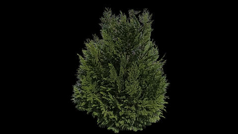 Real Coniferous Plant Isolated 1 Footage