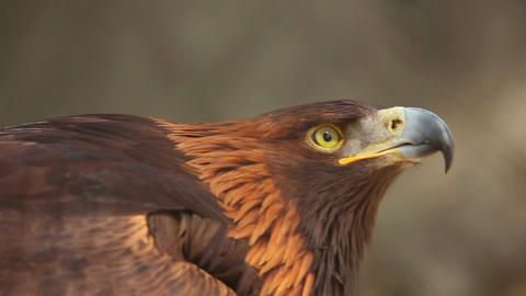 Golden eagle Footage