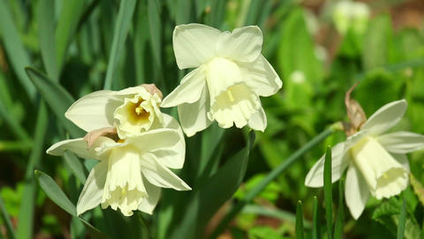 Narcissus stock footage