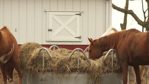 Horses Feed On Stray Hay Bales Farm Ranch Animals stock footage