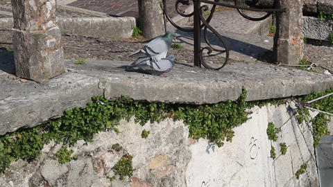Two Pigeons Are Mating In Peschiera, Italy stock footage