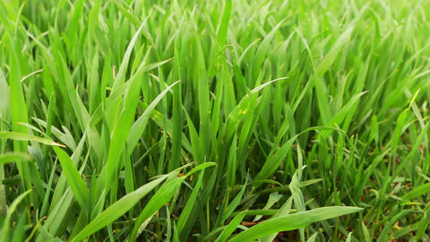 Fresh Green Wheat Grass Footage