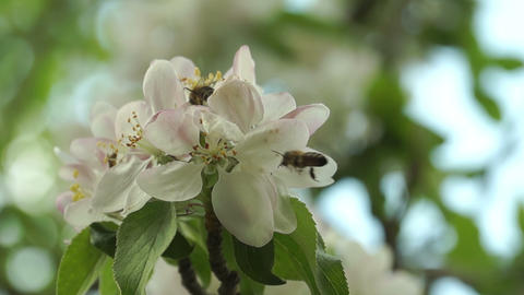 Few Bees Pollinating Spring Flowers Footage