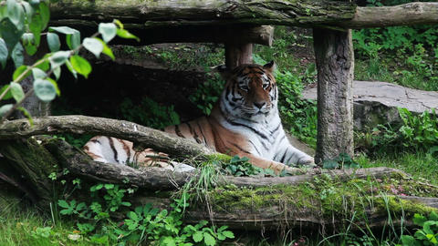 Tiger Zoo stock footage