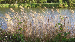 Closeup reed near the river, forest, outdoor Footage
