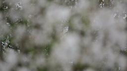 Flowering Cherry Tree stock footage