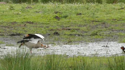 Egyptian goose in alert while pheasant is passing Footage