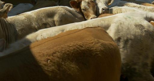 barn calves 02 Footage