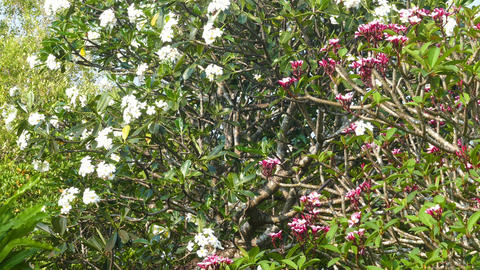 white and red branches of flowering plumeria Footage