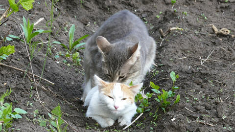 Domestic cats in the act of mating Live Action