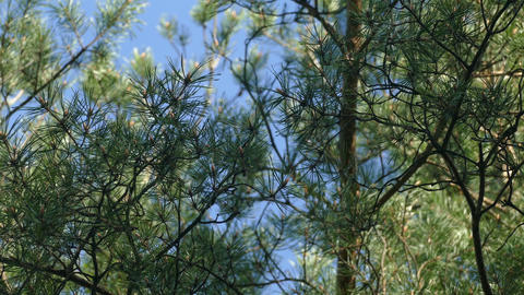 Pine Forest In The Spring Afternoon UHD stock footage