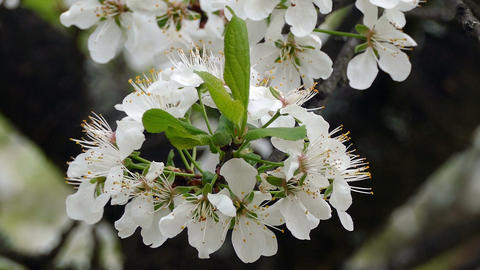 white cherry blossom on a branch in the spring garden Footage