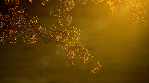 Golden foliage of tree on background of sunbeam Footage