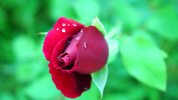 Red Rosebud With Drops of Water in Spring Wind With Sound Footage