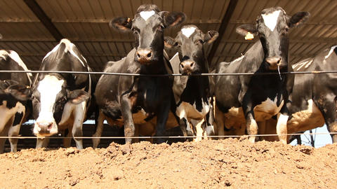 Milking Cows in the farm Cow Milk dairy barn cowshed Stock Video Footage