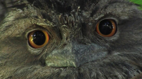 Tawny Frog Mouth Eyes Stock Video Footage