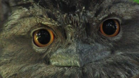 Tawny Frog Mouth Eyes Footage