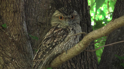 Tawny Frogmouth in Branch Stock Video Footage