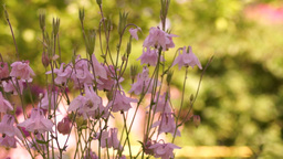 Aquilegia Vulgaris Or European Columbine In Wind With Bee And Sound Footage