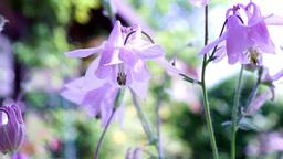 Pink Bell-Shaped Flowers(Aquilegia vulgaris or European Columbine) in Wind With  Footage
