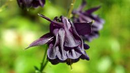 Mauve Bell-Shaped Flowers(Aquilegia Vulgaris Or European Columbine)In Wind stock footage